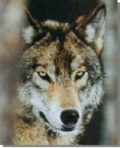 Grey_wolf_3D